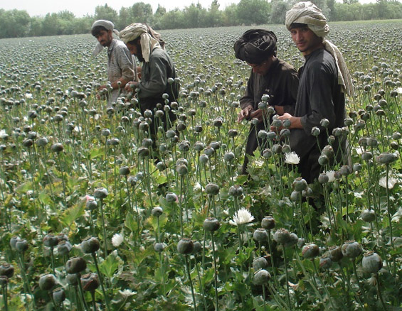Afghanistan-poppy-cultivation-IRIN2